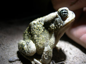 save the arroyo toad